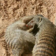 Two dwarf mongoose playing over sand - Stockfoto