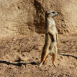 Madagascar Suricata on a clay landscape — Stock Photo