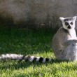 Madagascar Lemur getting sun bath - Stock Photo