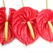Anthurium exotic beautiful red flower still — Stock Photo