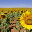 Sunflower plantation vibrant yellow flowers — Foto Stock