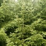 冷杉松树绿色山纹理 — 图库照片