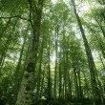 Beech green magic forest woods — Stock Photo