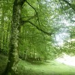 Beech green magic forest woods - Stock Photo