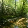 Beech forest trees with river flow under — Stock Photo #5507202
