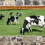 Stone masonry wall window cows meadow view — Stock Photo #5507295