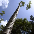 Tall thin trunk central america trees perspective — Stock Photo #5507300