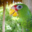 Cotorra parrot green from Central America - Foto Stock