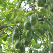Avocado tree with fruits in mexico - Zdjęcie stockowe