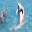 Dolphin show in caribbean tuquoise water - Stock Photo