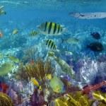 karibským korálovým tropických ryb pod vodou — Stock fotografie