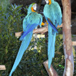Blue and yellow macaw couple fighting in love — Stock Photo