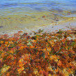 Colorful yellow red seaweed sea algae — Stock Photo