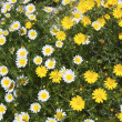 Stock Photo: Daisy yellow and white flowers in garden