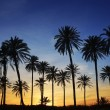 Palm trees sunset golden blue sky backlight — Stock Photo