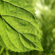 Transparency mulberry leaf green nature macro — Stock Photo #5507425