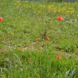 Stock Photo: Green meadow with red spring flowers