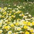Daisy yellow flowers green nature meadow — Stock Photo