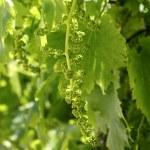 vingård med lilla baby graps växa groddar — Stockfoto