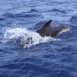 Pilot whale free in open sea blue mediterranean — Stock Photo #5507494