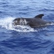 Pilot whale free in open sea blue mediterranean - Stock Photo