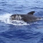 Pilot whale free in open sea blue mediterranean — Stock Photo