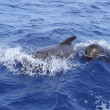 Pilot whales free with baby in mediterranean — Stock Photo