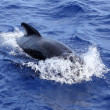 Pilot whale free in open sea blue mediterranean — Stock Photo #5507498
