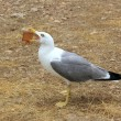 Seagull eating biscuit human trash open bill — Stock Photo