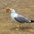 Seagull eating biscuit human trash open bill - Stock Photo