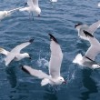 Active sea gulls seagulls over blue sea ocean - Stok fotoğraf