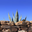 Agave pitera mediterranean plant stone wall - Stock Photo