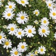 Daisy flowers in yellow white garden — Stock Photo
