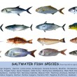 Fish species saltwater clasification isolated on white — Stock Photo #5507592