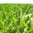 Agriculture corn plants field green plantation — ストック写真