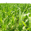 Royalty-Free Stock Photo: Agriculture corn plants field green plantation