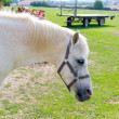 White horse rpofile portrait outdoor meadow — Stock Photo