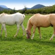White horses meadow prairie grassland Pyrenees — Stock Photo #5507659