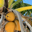 Coconuts in palm tree detail tropical symbol — Stock Photo #5507669