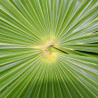 Chit Florida Thatch Palm THRINAX RADIATA - Stock Photo