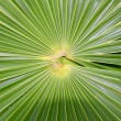 Chit Florida Thatch Palm THRINAX RADIATA - ストック写真