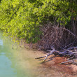 Lagoon mangrove shore Mayan Riviera — Stock Photo