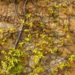 Autumn climbing plant wall texture background - Stock Photo