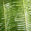 Green palm tree leaves background texture - Foto Stock
