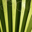 Palm leaf detail with curling fiber - Foto de Stock