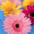 Stock Photo: Gerbera colorful flowers still over blue background