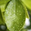 Water drops on an orange tree green leaf — Stock Photo