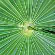 Chit Florida Thatch Palm THRINAX RADIATA - Stock fotografie
