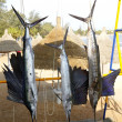 Sailfish catch hanging marlin fishing trophy - Stock Photo