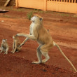African wild monkeys eating food - 